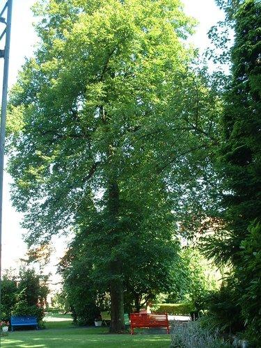 Tilia sp – Schaarbeek, Thomas Vinçottestraat, 36 –  16 Juli 2002