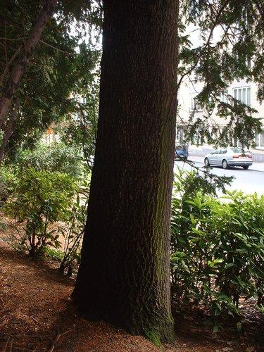Fraxinus sp ixelles all e h demarque chauss e de boondael inventaire des arbres - Allee steen ...