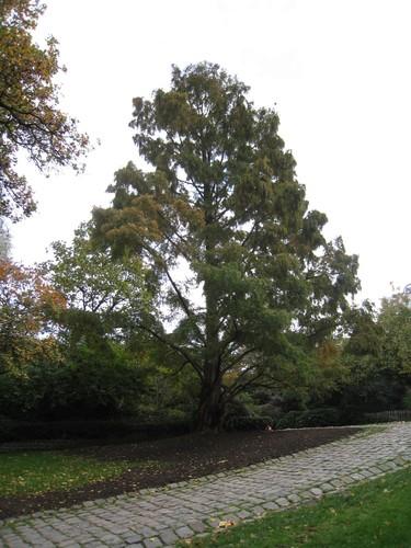 Métaséquoia – Saint-Josse-Ten-Noode, Jardin Botanique –  26 Octobre 2009