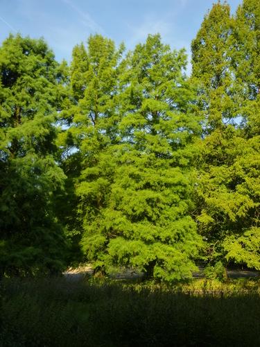 chineze sequoia – Watermaal-Bosvoorde, Leybeekpark –  06 August 2015