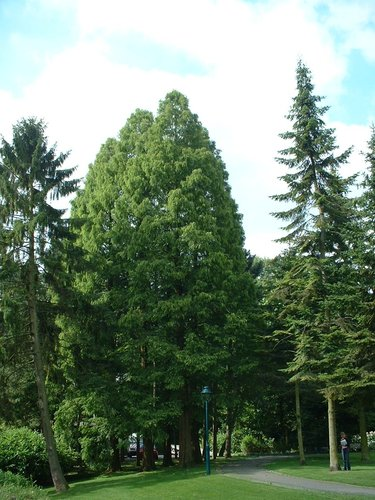 chineze sequoia – Watermaal-Bosvoorde, Senypark, Vorstlaan –  19 Juli 2002