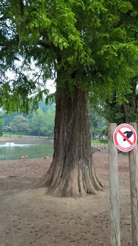 chineze sequoia – Brussel, Clementinasquare –  15 Mei 2018