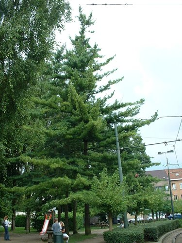 Pinus striata – Watermael-Boitsfort, Rue du Ministre –  07 Août 2002