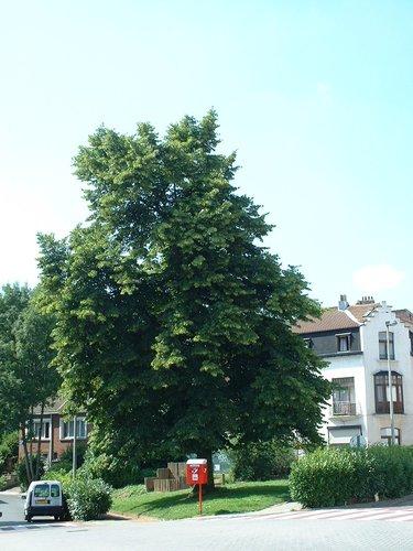 Kleinbladige linde – Watermaal-Bosvoorde, Gratèsstraat –  17 Juli 2002