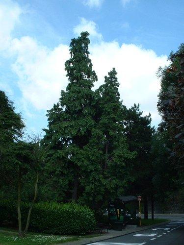 Faux-cyprès de Lawson – Watermael-Boitsfort, Place des Arcades –  18 Juillet 2002