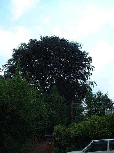 Hêtre pourpre – Watermael-Boitsfort, Avenue Léopold Wiener, 66 –  04 Juillet 2002