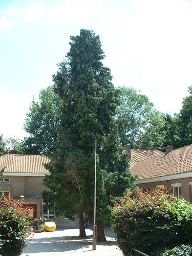 Faux-cyprès de Lawson – Watermael-Boitsfort, Avenue des Naïades, 21a –  18 Juillet 2002