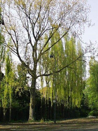 Peuplier du Canada – Bruxelles, Boulevard de l'Abattoir, 51 –  04 Avril 2002