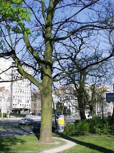 Gewone esdoorn – Schaarbeek, Vergote square, Vergotesquare –  05 April 2002