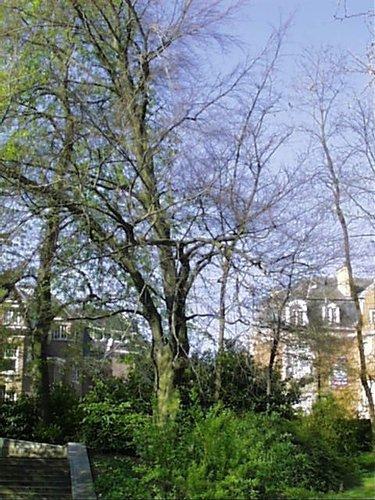 Hêtre pourpre – Schaerbeek, Square Vergote, Square Vergote –  05 Avril 2002