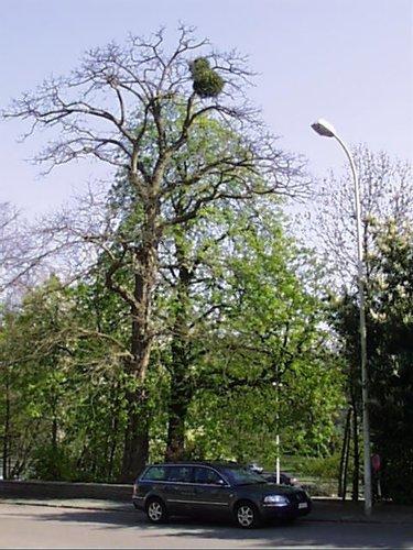 Witte paardenkastanje – Schaarbeek, Vergote square, Vergotesquare, face 33 –  05 April 2002