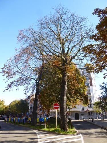 Marronnier commun – Schaerbeek, Place de Jamblinne de Meux, Place de Jamblinne de Meux, face 28 –  29 Septembre 2015