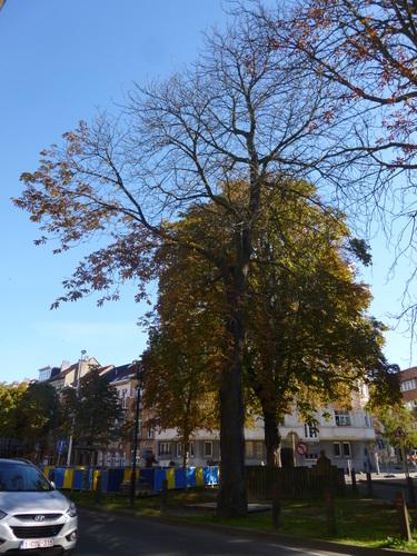 Marronnier commun – Schaerbeek, Place de Jamblinne de Meux, Place de Jamblinne de Meux, face 28-29 –  29 Septembre 2015