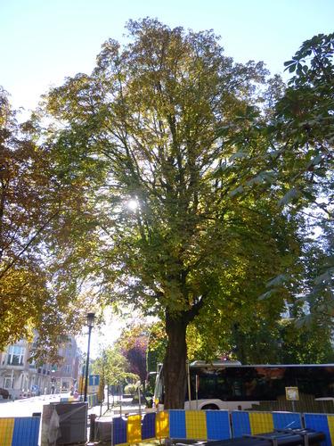 Marronnier commun – Schaerbeek, Place de Jamblinne de Meux, Place de Jamblinne de Meux, face 20 –  29 Septembre 2015