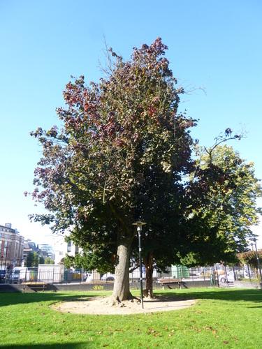 Acer platanoides f. rubrum – Schaerbeek, Place de Jamblinne de Meux, Place de Jamblinne de Meux, face 38 –  29 Septembre 2015