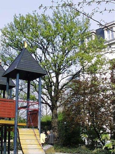 Erable sycomore – Saint-Josse-Ten-Noode, Square Henri Frick, Square Henri Frick –  12 Avril 2002