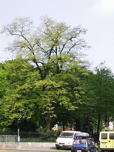 Tilleul argenté – Saint-Josse-Ten-Noode, Square Henri Frick, Square Henri Frick –  12 Avril 2002