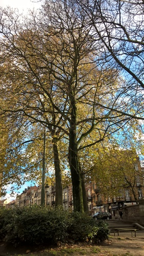 Acer platanoides f. rubrum – Schaerbeek, Place des Bienfaiteurs, Place des Bienfaiteurs –  28 Novembre 2017