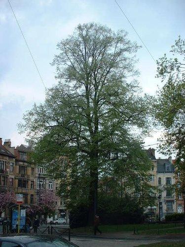 Tilleul argenté – Schaerbeek, Place des Bienfaiteurs, Place des Bienfaiteurs –  18 Avril 2002