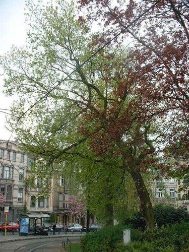 Erable à feuilles de frêne – Schaerbeek, Place des Bienfaiteurs, Place des Bienfaiteurs –  18 Avril 2002