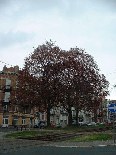 Noorse esdoorn – Schaarbeek, Rogierlaan, 236 –  18 April 2002