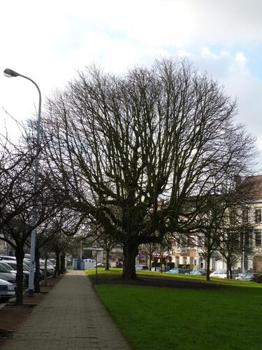 Marronnier commun – Schaerbeek, Avenue Huart Hamoir et Square Riga, Square François Riga –  10 Janvier 2013