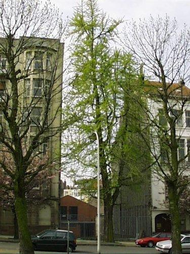 Ginkgo biloba 'Fastigiata'<br>Schaerbeek Avenue Huart Hamoir et Square Riga Avenue Huart Hamoir, 31-33