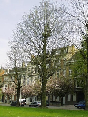 Frêne commun – Schaerbeek, Avenue Huart Hamoir et Square Riga, Avenue Huart Hamoir, 32 –  22 Avril 2002