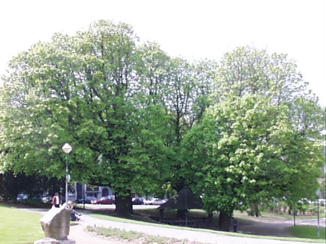 Marronnier commun – Schaerbeek, Avenue Huart Hamoir et Square Riga, Avenue Huart Hamoir –  22 Avril 2002