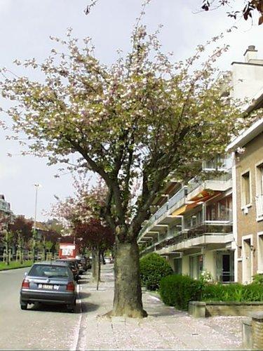 Cerisier du Japon – Woluwé-Saint-Lambert, Avenue de Mai, 26 –  23 Avril 2002