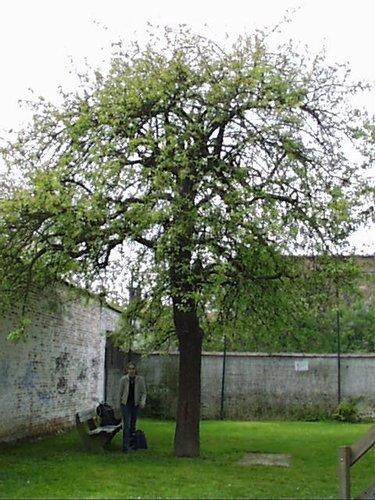 Poirier cultivé – Woluwé-Saint-Lambert, Rue Jean-Baptiste Timmermans, 39 –  23 Avril 2002