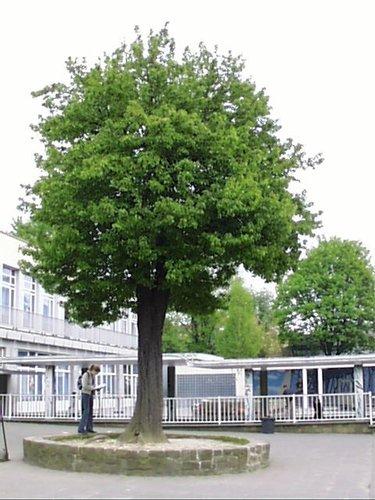 Poirier cultivé – Woluwé-Saint-Lambert, Avenue du Couronnement, 64 –  23 Avril 2002