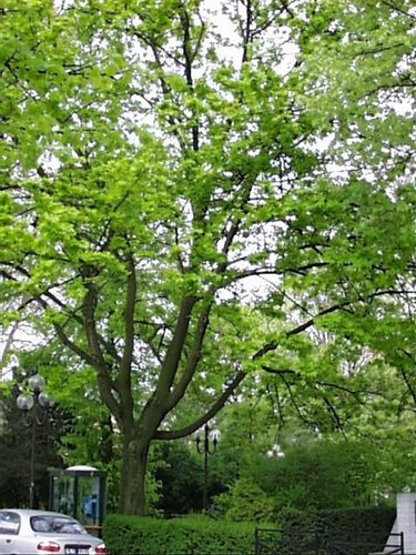 Erable plane – Woluwé-Saint-Lambert, Square Joséphine-Charlotte, Square Joséphine-Charlotte –  23 Avril 2002