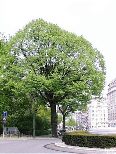 Tilleul argenté – Woluwé-Saint-Lambert, Square Joséphine-Charlotte, Avenue de Broqueville –  23 Avril 2002