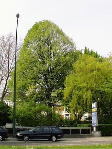 Tilleul argenté – Woluwé-Saint-Lambert, Square Joséphine-Charlotte, Square Joséphine-Charlotte –  23 Avril 2002
