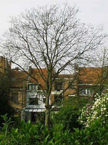 Noyer royal – Evere, Chaussée de Haecht, 1139 –  24 Avril 2002