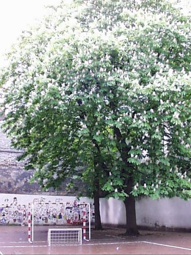 Marronnier commun – Saint-Josse-Ten-Noode, Rue de la Limite, 65 A –  02 Mai 2002