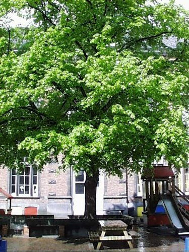 Hollandse linde – Sint-Joost-Ten-Node, Grensstraat, 65 A –  02 Mei 2002