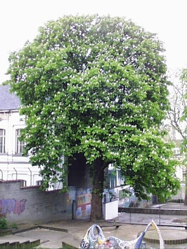 Marronnier commun – Saint-Josse-Ten-Noode, Rue de la Poste, 51 –  02 Mai 2002