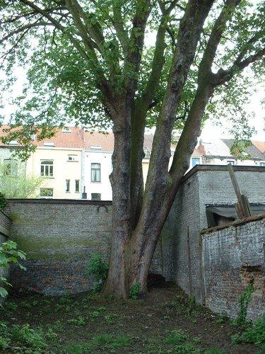 Erable sycomore – Saint-Josse-Ten-Noode, Rue des Coteaux, 20 –  07 Mai 2002