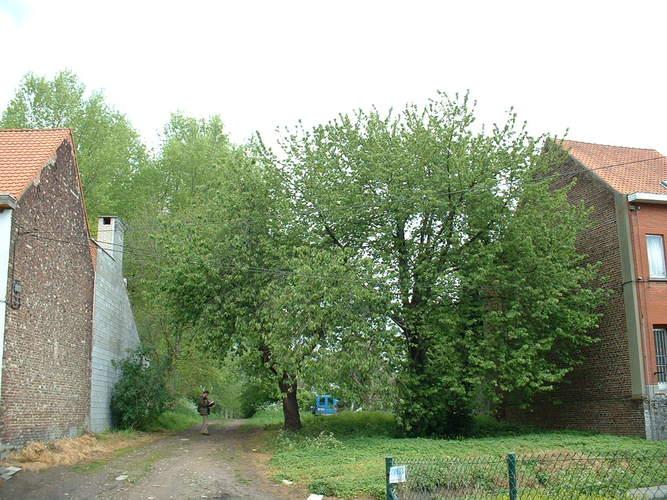 Merisier – Bruxelles, Rue du Wimpelberg –  06 Mai 2002