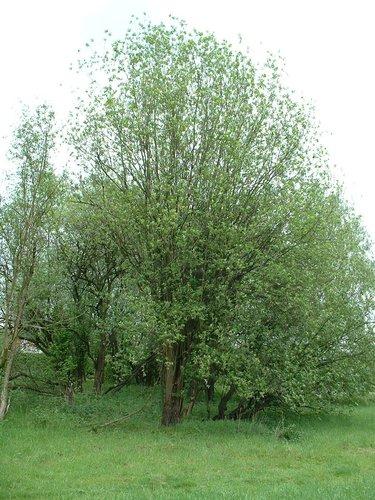 Saule marsault – Bruxelles, Petit chemin Vert –  06 Mai 2002