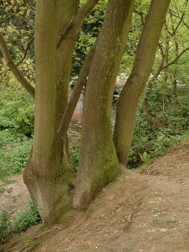 Chêne pédonculé – Bruxelles, Petit chemin Vert –  06 Mai 2002