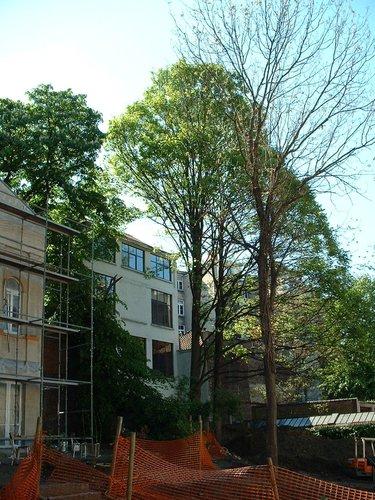 Erable sycomore – Saint-Josse-Ten-Noode, Rue Royale, 225 –  07 Mai 2002