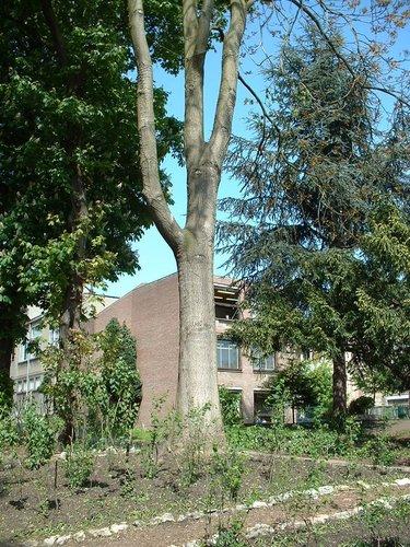 Ailante glanduleux – Saint-Josse-Ten-Noode, Parc de l'Institut des Dames de Marie à Saint-Josse, Chaussée de Haecht, 70 –  07 Mai 2002