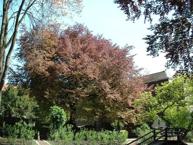 Hêtre pourpre – Saint-Josse-Ten-Noode, Parc de l'Institut des Dames de Marie à Saint-Josse, Chaussée de Haecht, 70 –  07 Mai 2002