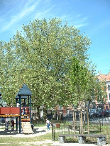Platane à feuille d'érable – Saint-Josse-Ten-Noode, Square Félix Delhaye –  13 Mai 2002