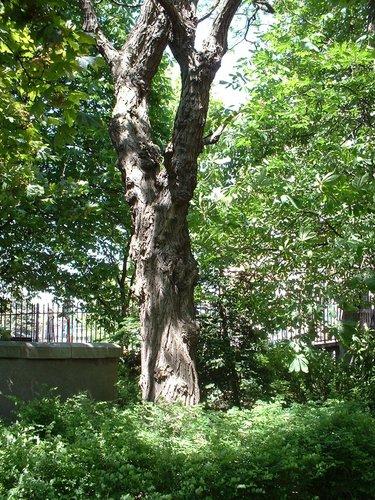 Gewone acacia – Sint-Joost-Ten-Node, Armand Steurssquare, Armand Steurssquare –  13 Mei 2002
