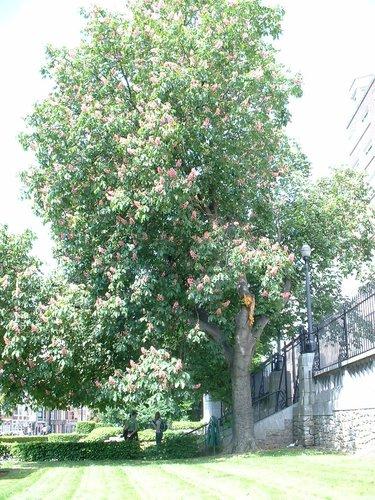 Marronnier à fleurs rouges – Saint-Josse-Ten-Noode, Square Armand Steurs, Square Armand Steurs –  13 Mai 2002