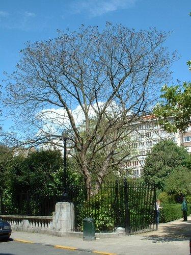 Catalpa rougeâtre<br>Saint-Josse-Ten-Noode Square Armand Steurs Square Armand Steurs